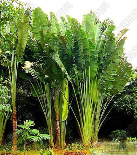 亚马逊棕榈