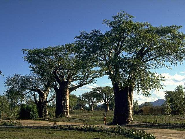 尔威兹加树
