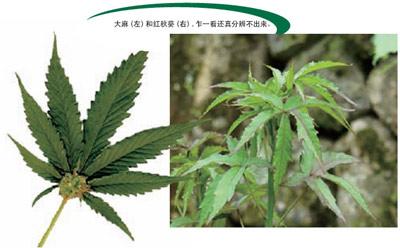 大麻(左)和红秋葵(右)
