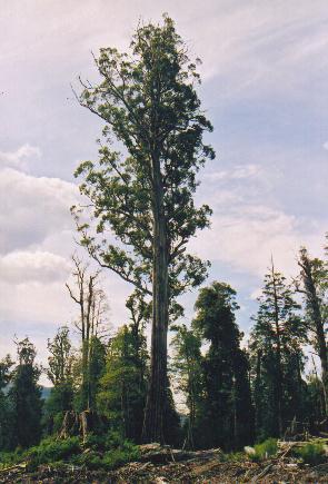 杏仁桉,属于桃金娘科.杏仁桉树一般都高达100米,其中有一
