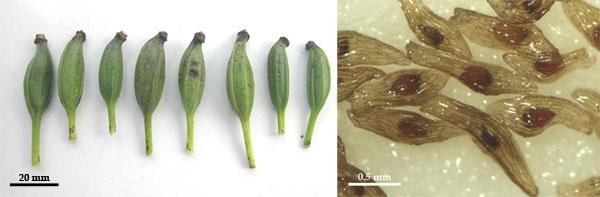 大花杓兰的绿色蒴果
