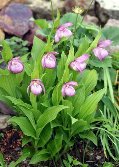 >庭院中的大花杓兰