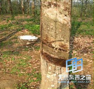 """会""""流泪""""的树——巴西胶橡树"""