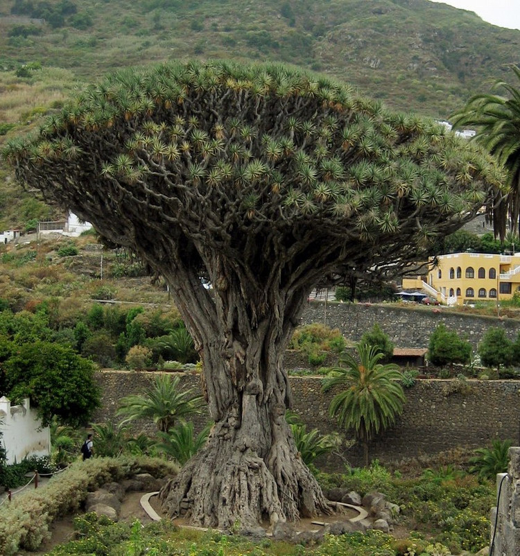 它大多分布于海拔较高的石灰岩地区,高可达20米,树干粗短,树皮纵裂