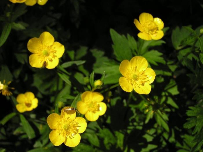 被子植物--毛茛