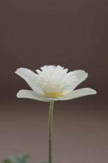 单朵银莲花