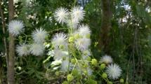 光荚含羞草