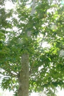 见血封喉树