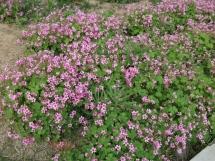红花酢浆草
