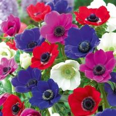欧洲银莲花