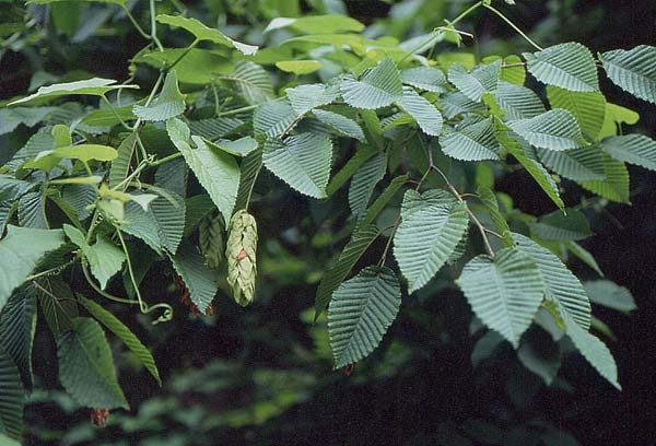 背景 壁纸 绿色 绿叶 树叶 植物 桌面 600_408