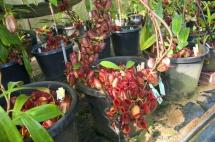 苹果猪笼草