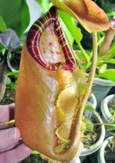 苏门答腊猪笼草