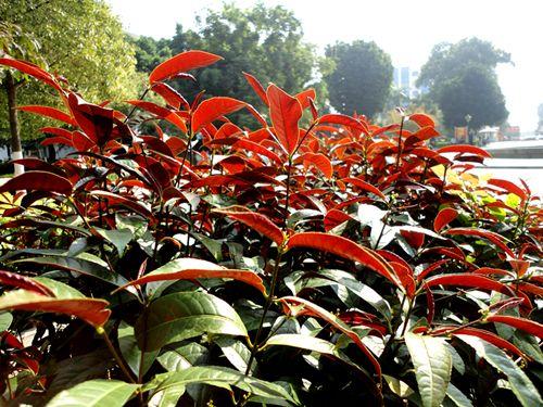 红背桂_室内观叶植物_植物365