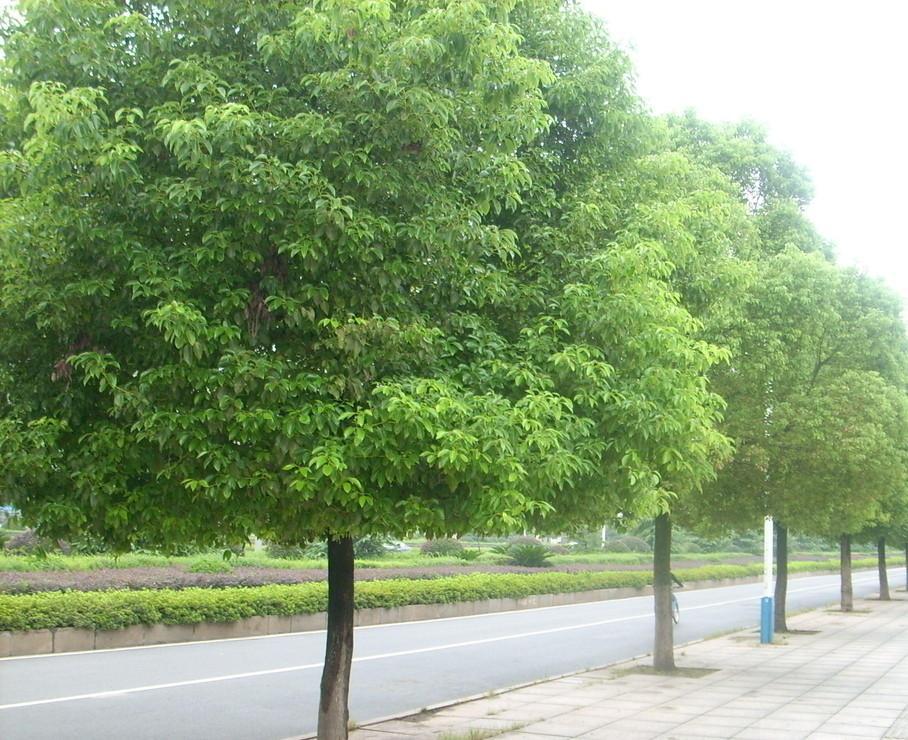 樟树平面图例手绘