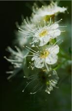 华北绣线菊